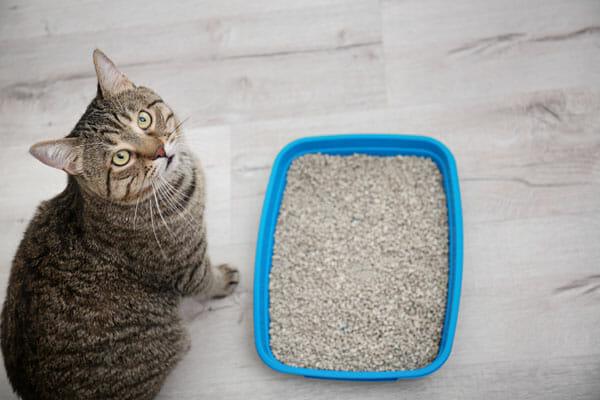 cómo enseñar a tu gato a usar su caja de arena