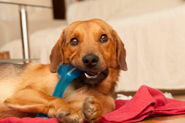 qué juguete comprarle a tu perro