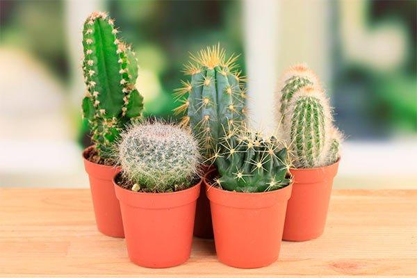 Decoración de interiores con plantas, Cactus