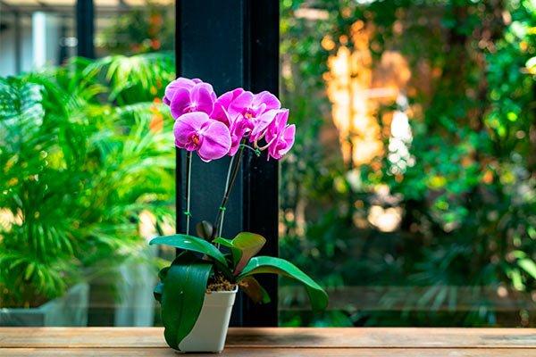 Decoración de interiores con plantas, Orquídeas