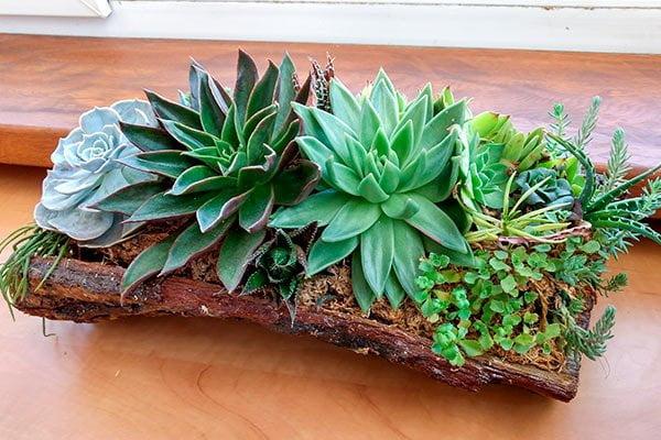 Decoración de interiores con plantas, Suculentas