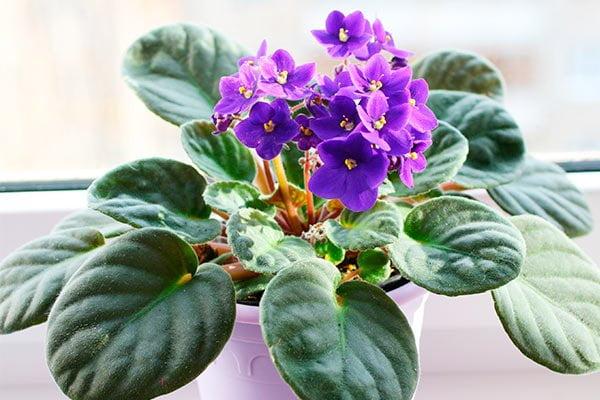 Decoración de interiores con plantas, Violetas