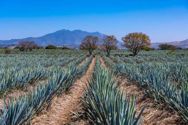 Campo de agave azul en Tequila, Jalisco