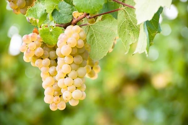 uvas-de-peru